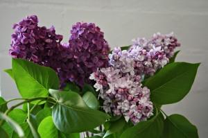 Fragrant Lilac Blossom