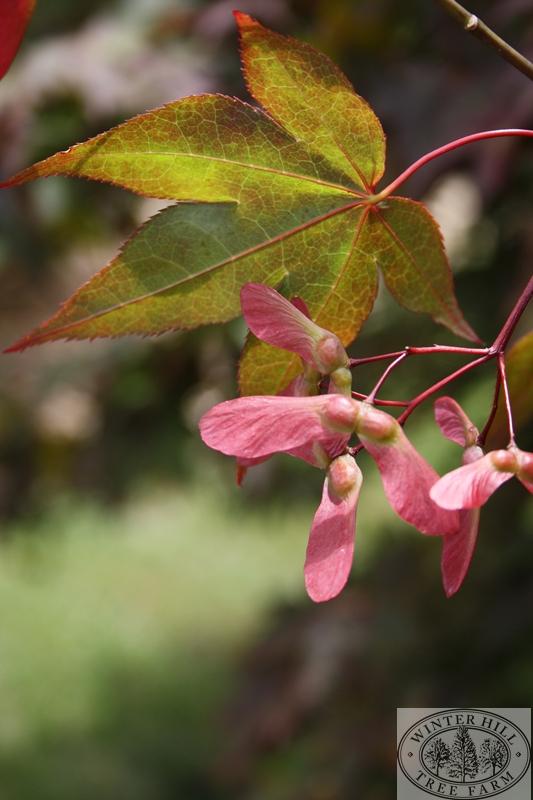 Summer leaf and seed