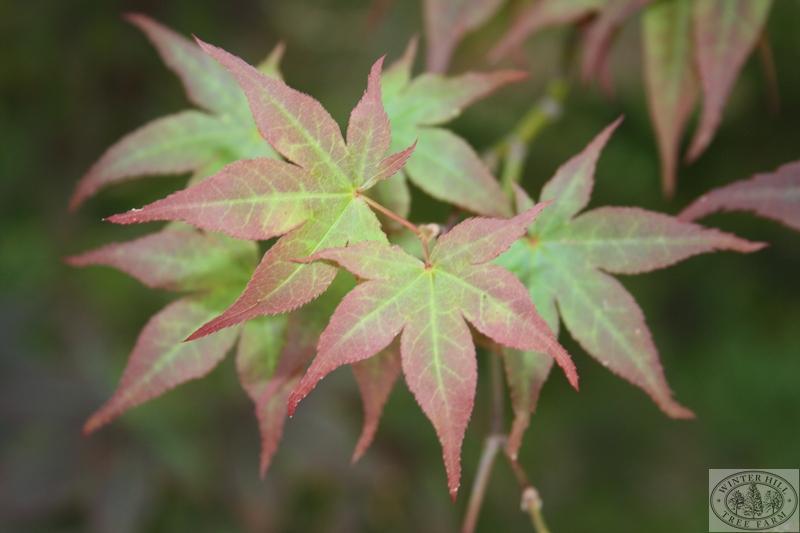 Spring/Summer leaf