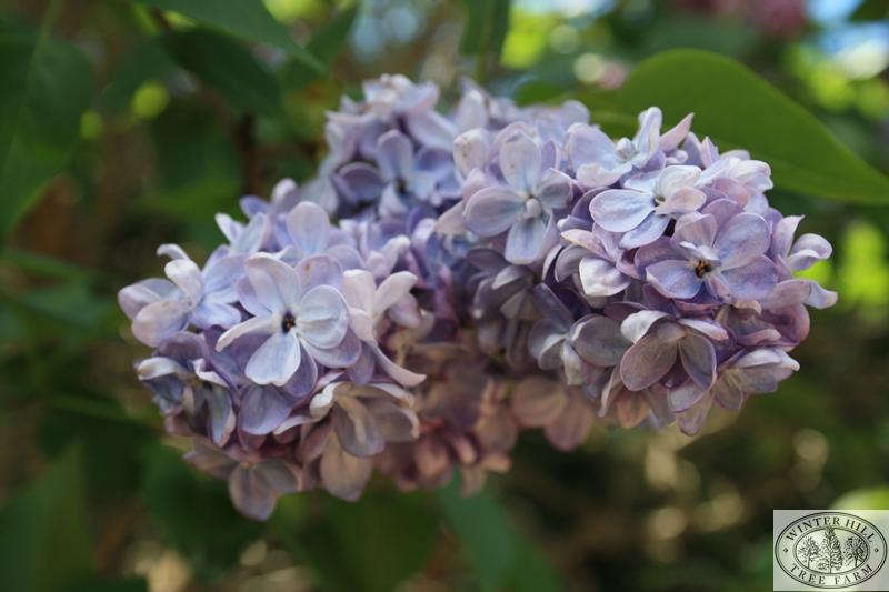Clarkes Giant Spring Flower