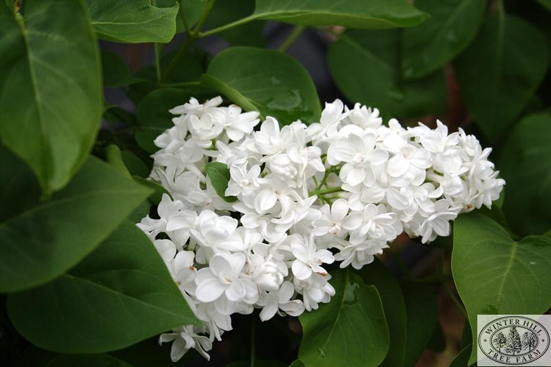 Cora Brandt Spring Flower
