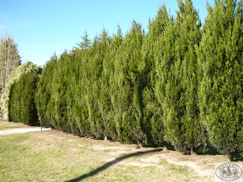 Winter hill tree farm green spartan juniper — juniperus