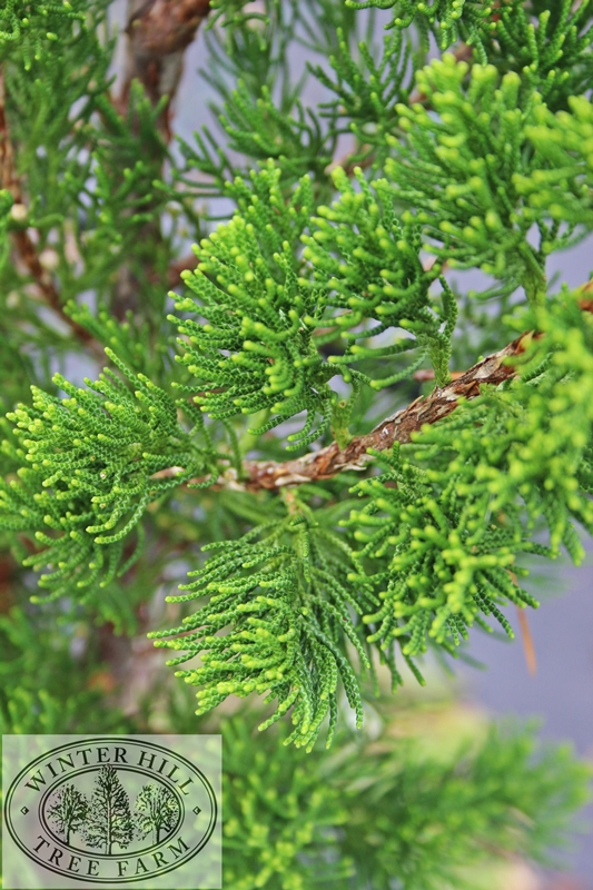 Eastern Red Cedar Tree Information ~ Not required unless being used for hedging