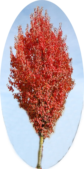 Winter Hill Tree Farm Upright Crabapple Malus Tschonoskii