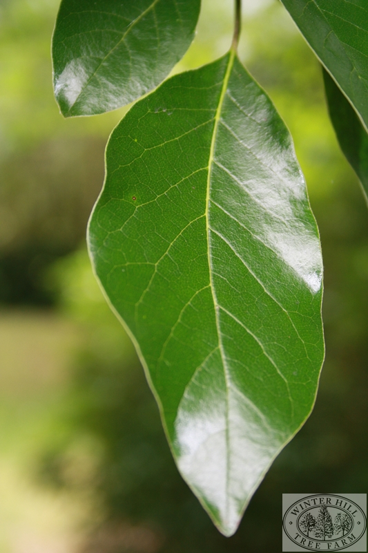 Summer leaf