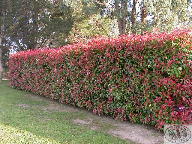Winter Hill Tree Farm Photinia Photinia Robusta