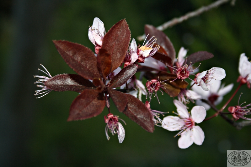 Blossom and Spring foliage