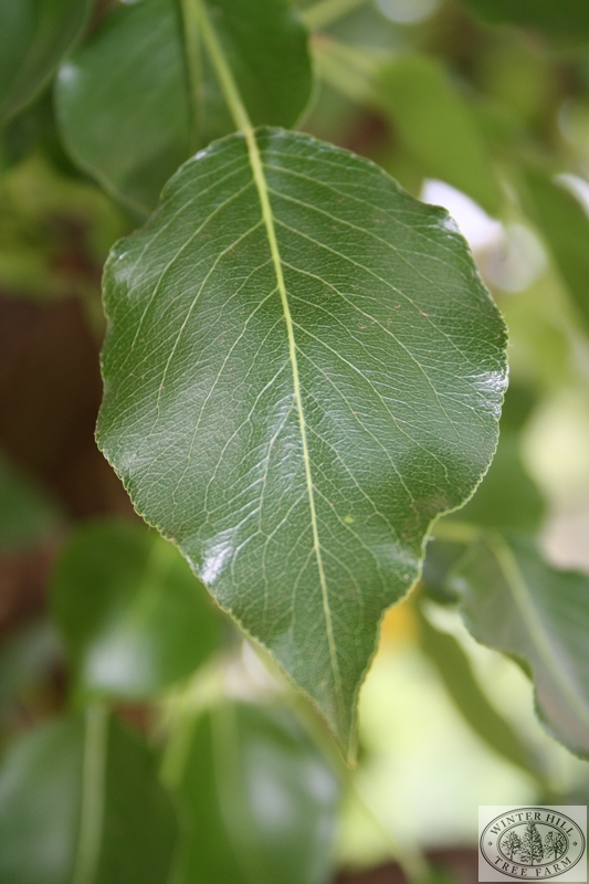 Leaf in Summer