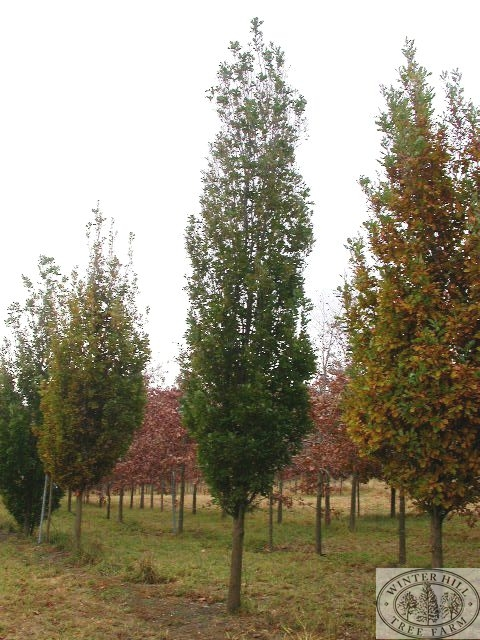 Nursery and grower of quality advanced trees mature trees for Skinny trees for tight spaces