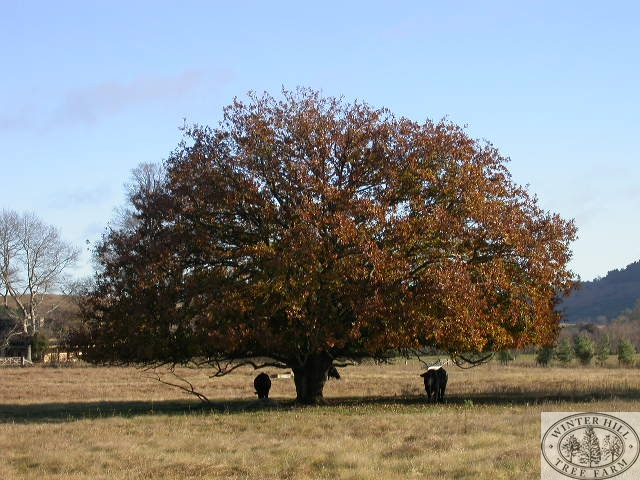 Mature tree Autumn