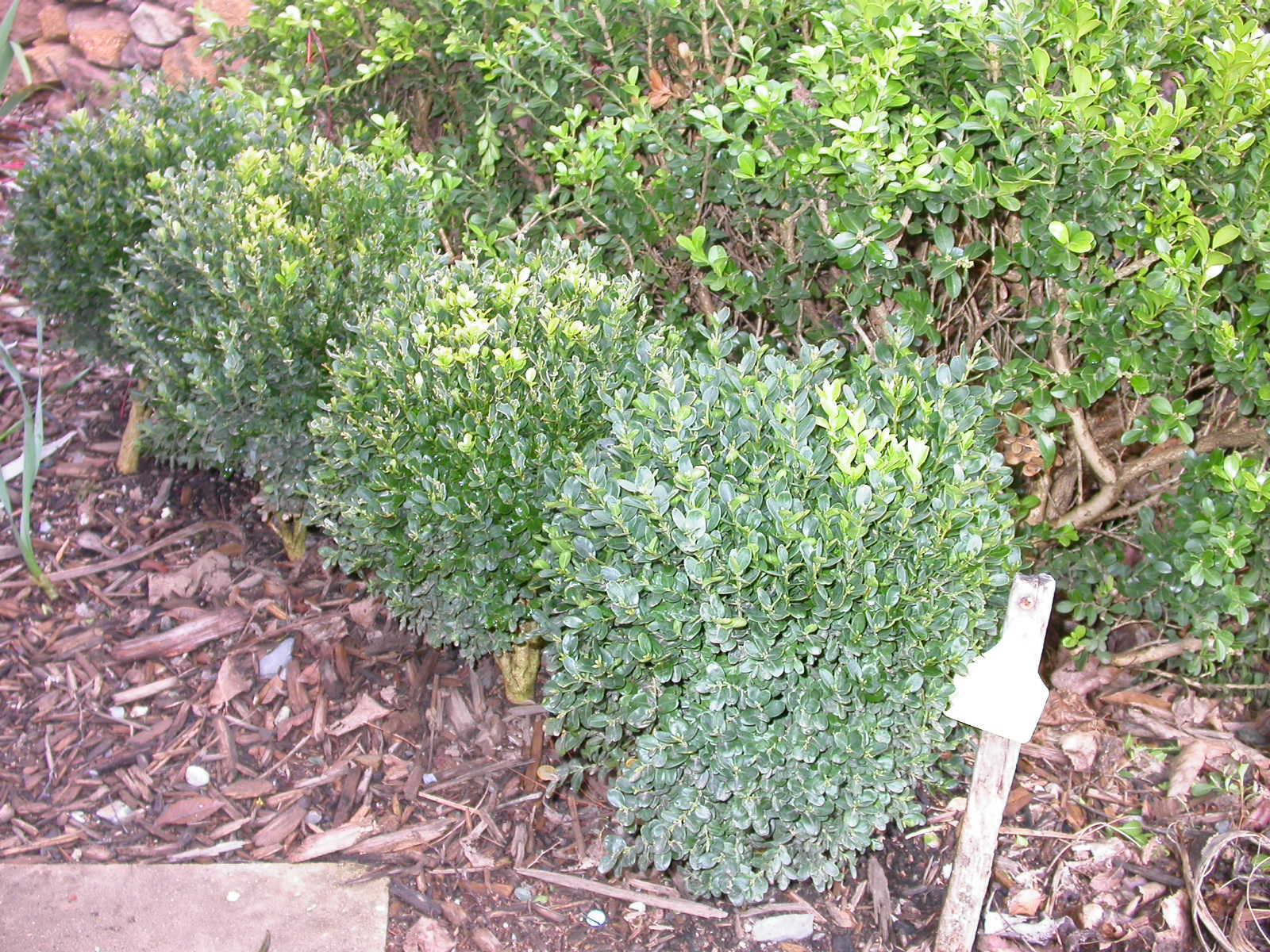 Young plants showing rounded shape