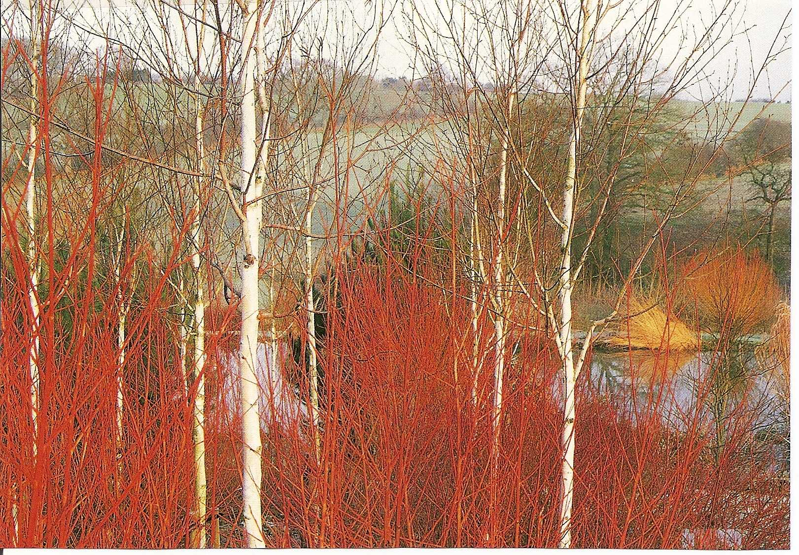 Red winter stems under birch