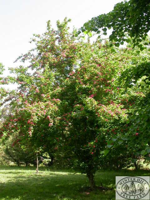 Mature garden speciman