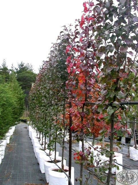 winter hill tree farm  trees for narrow spaces, Natural flower