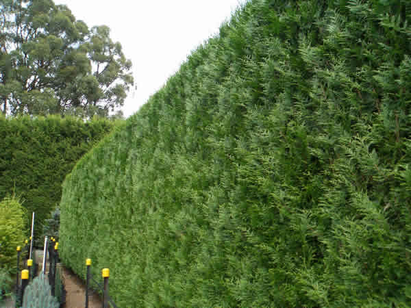Mature hedge