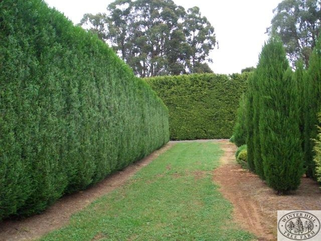 Mature clipped hedges