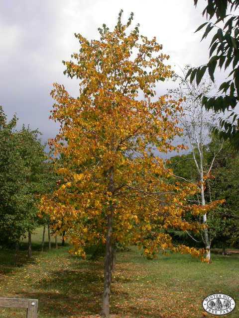Autumn -young specimen