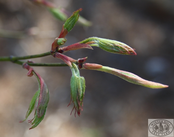 Early Spring foliage