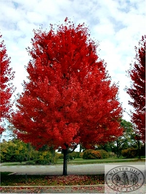 Winter Hill Tree Farm: Lipstick Maple - Autumn Blaze ...