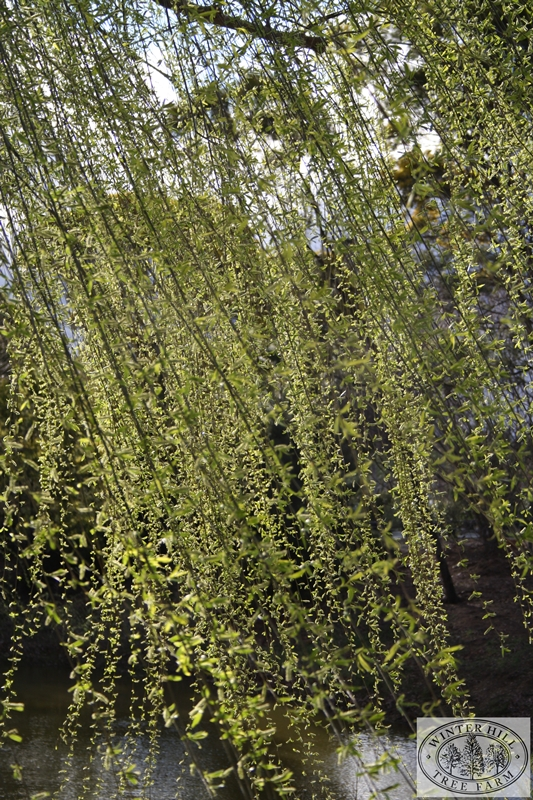 Winter Hill Tree Farm Weeping Willow Salix Babylonica