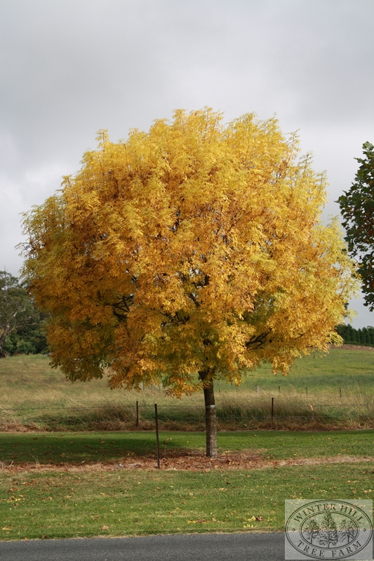 Winter Hill Tree Farm Golden Ash Fraxinus Excelsior Aurea