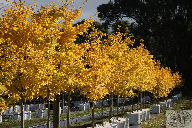 Winter Hill Tree Farm Maidenhair Tree Gingko Biloba