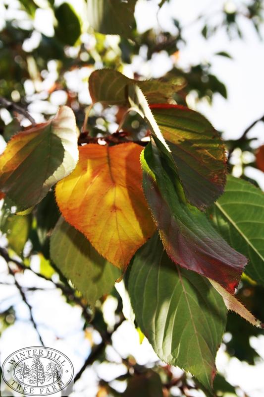 Autumn foliage colour