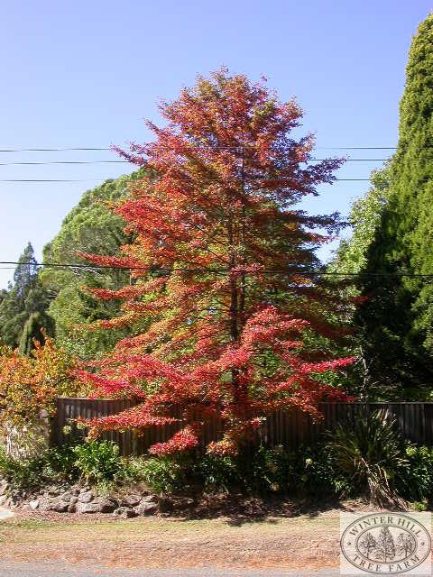 Mature specimen mid autumn