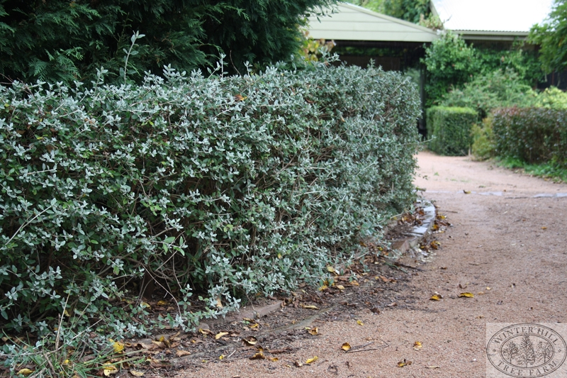 Winter Hill Tree Farm Silver Germander Teucrium Fruitcans