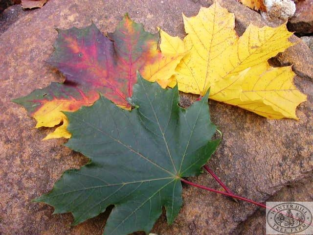 Stages of autumn leaves