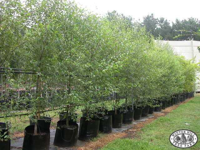 Winter Hill Tree Farm Evergreen Alder Alnus Jorullensis