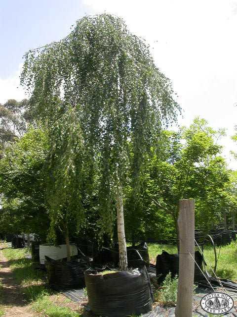 Winter Hill Tree Farm Birch Grafted Weeping Betula