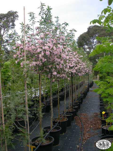 Crabapple Tree Australia