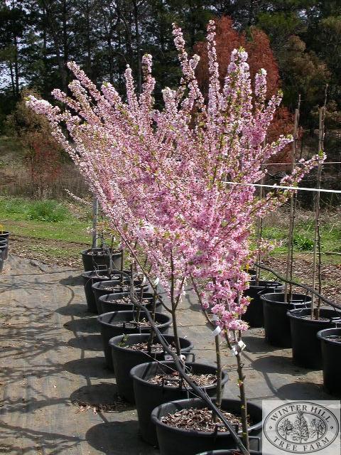 Winter Hill Tree Farm Plum Elvins Prunus Elvins