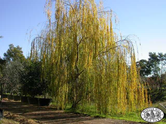 Mature tree in autumn