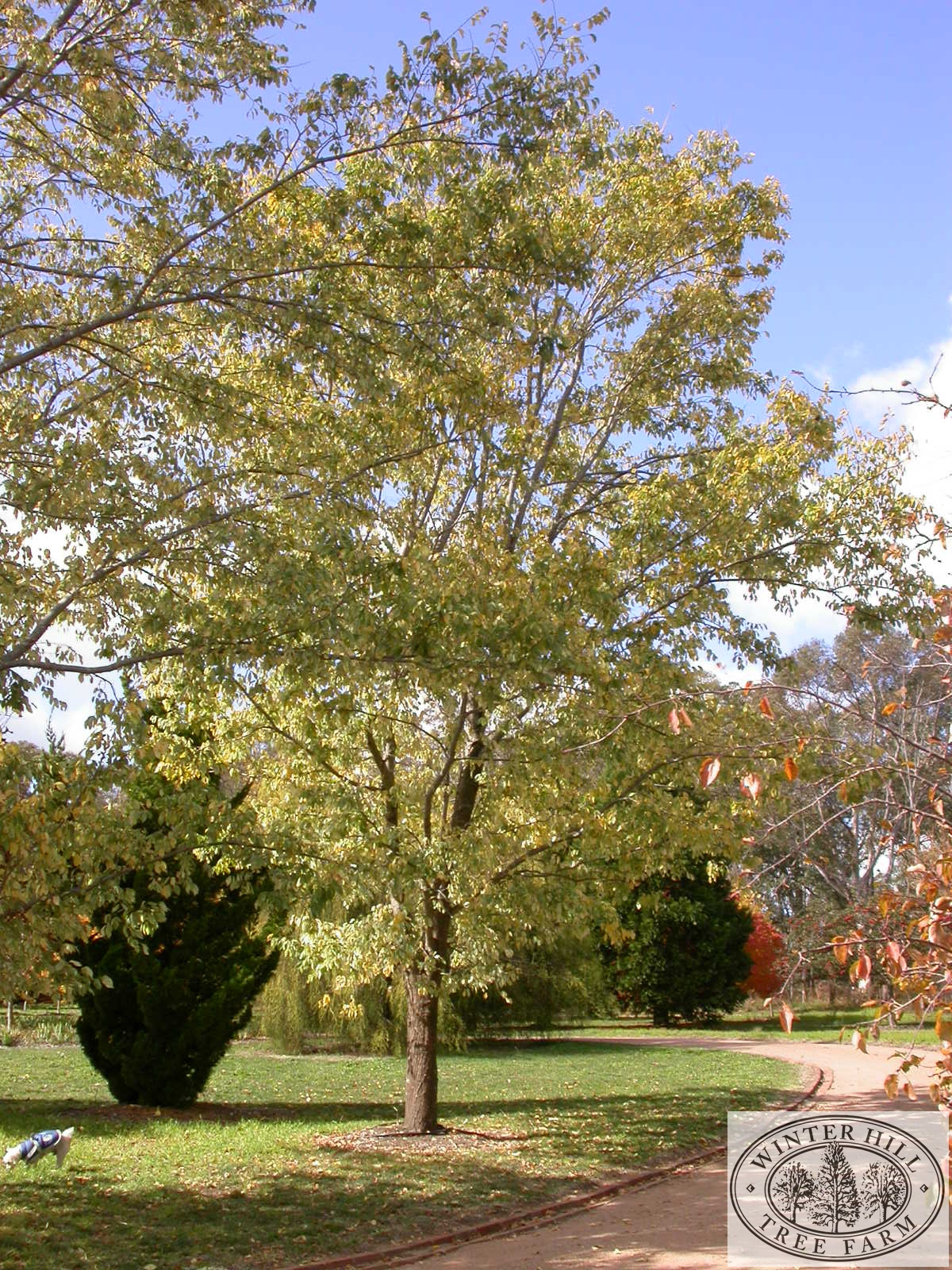 Semi-mature specimen in autumn