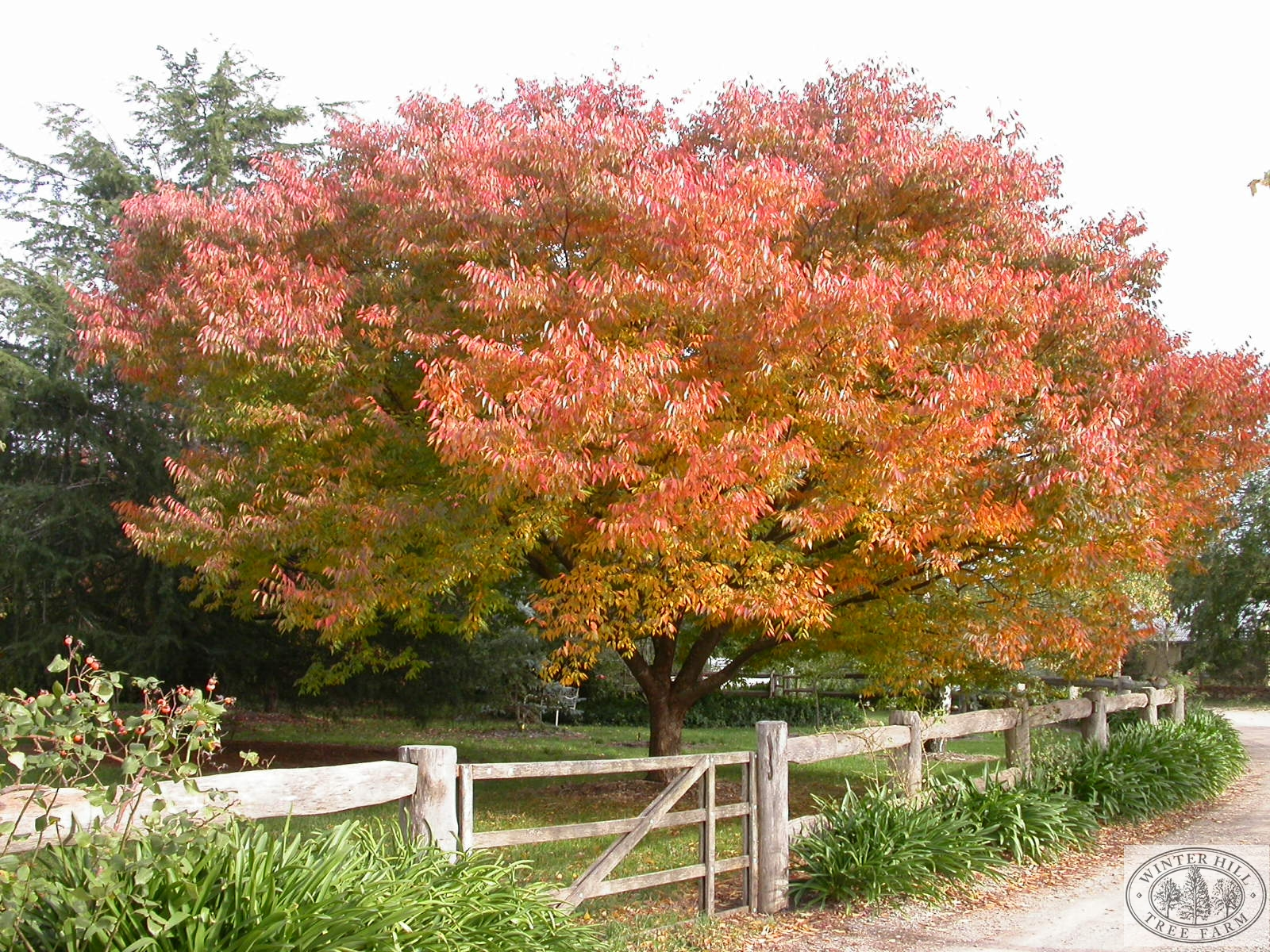 Mature tree in Autumn